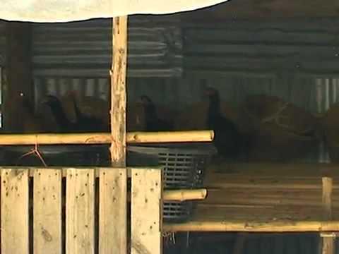 วีดีโอ การเลี้ยงไก่ – ไก่พื้นเมือง