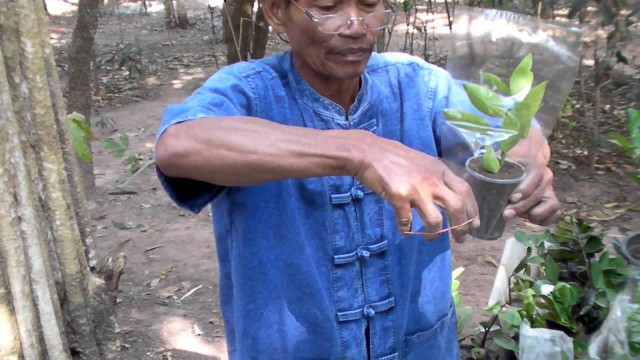 วิธีการขยายพันธุ์พืช การปักชำแบบควบแน่น